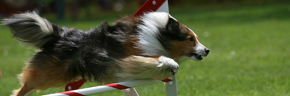 Dog Training Agility Header